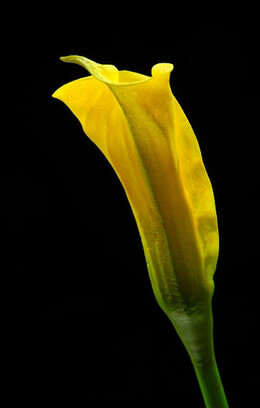 Natural Touch Flowers Calla Lily Bud Lemon Yellow