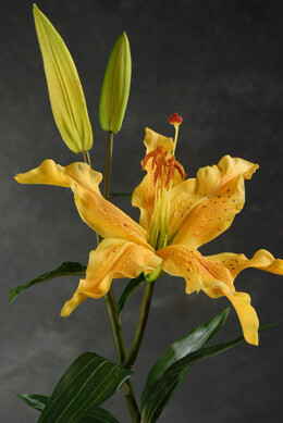 "Real Touch Lily Spray Mango Orange 34"" Tall"