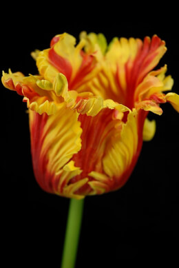 Artificial Parrot Tulip Red & Yellow 31in