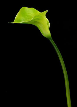Natural Touch Green Calla Lilies