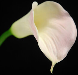 Natural Touch Large Pale Pink Calla Lily Flowers