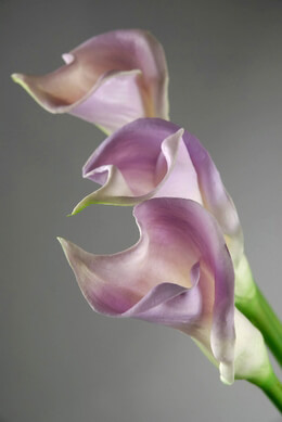 Natural Touch Lilac Calla Lilies  25in