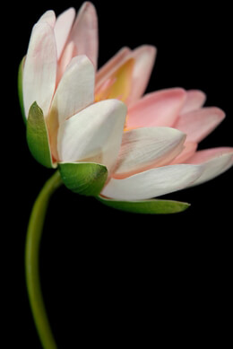 Lotus Stem Pink Artificial