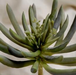 Artificial Succulent Spike 6in