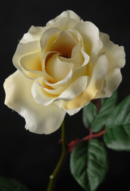 Silk Roses Cream (Pack of 12)