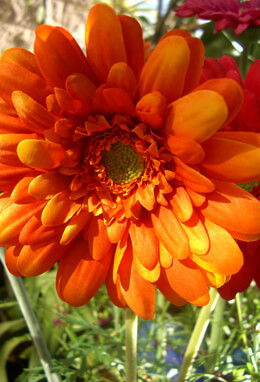One Dozen Orange Silk Gerbera Daisy Flowers