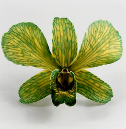 Orchid Flowers Green & Yellow Preserved (30 flowers)
