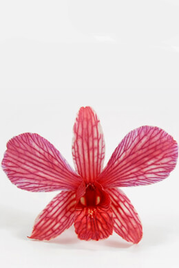 30 Preserved Cherry Red Orchid Flowers