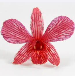 Orchid Flowers Cherry Red Preserved | 30 flowers