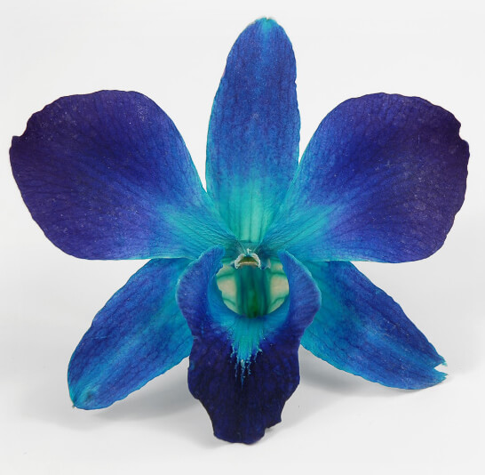 30 Sonia Blue Preserved Orchid Flowers
