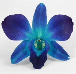 Preserved Orchids  |  Sonia Blue (Box of 30)