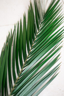 5 Natural Preserved Phoenix Palm Leaves 25in