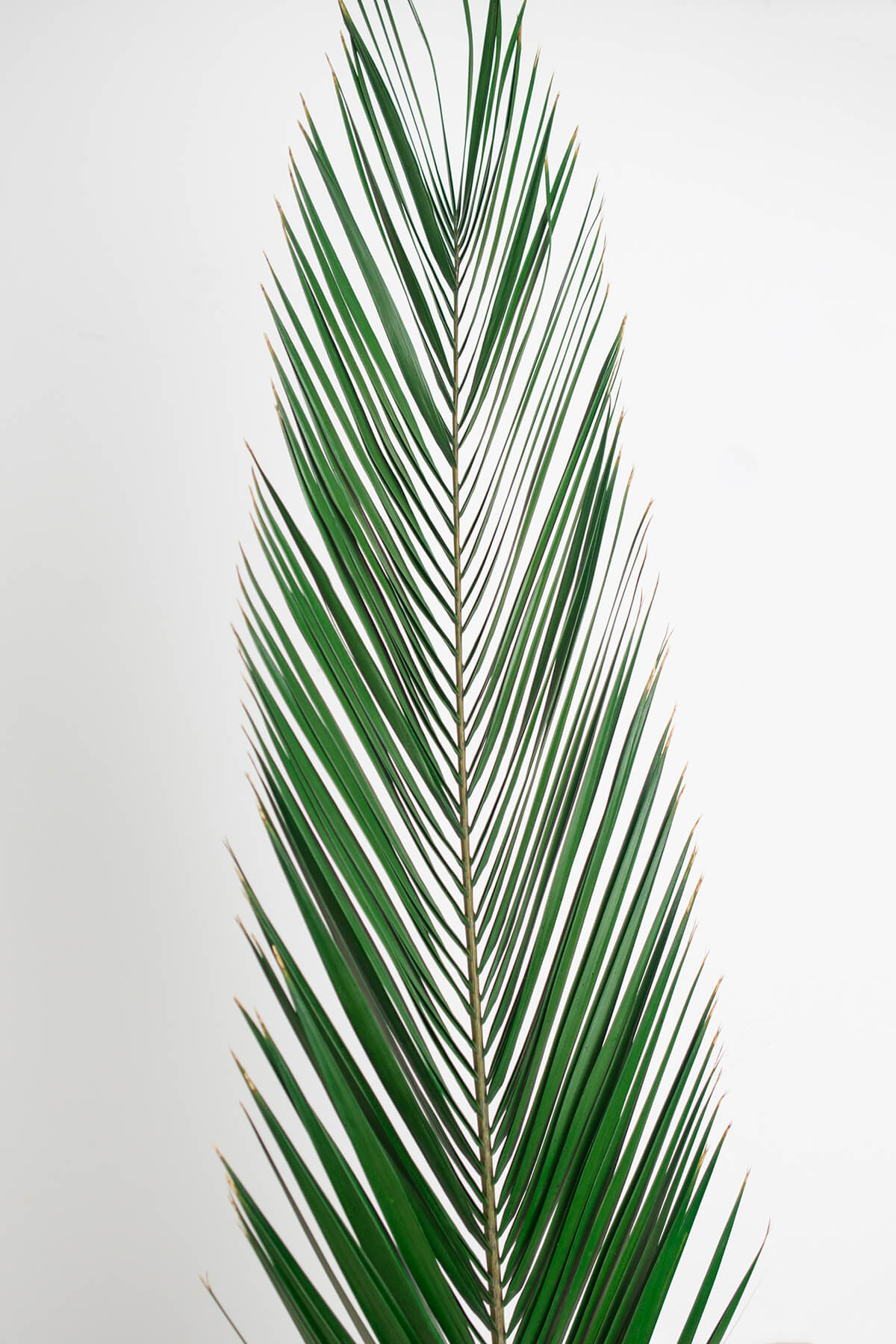 5 Natural Preserved Phoenix Palm Leaves 16-24in