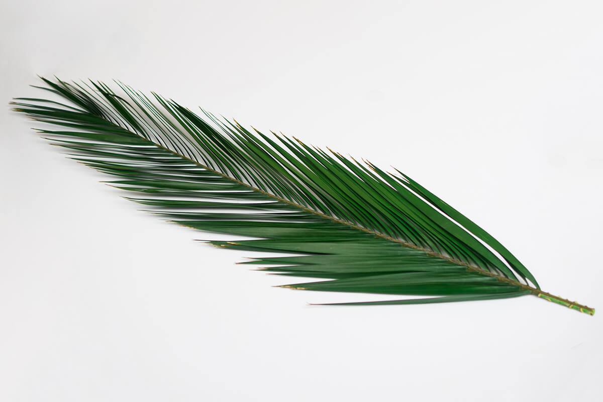 5 Natural Preserved Phoenix Palm Leaves 24-32in
