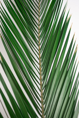 5 Natural Preserved Phoenix Palm Leaves 32in