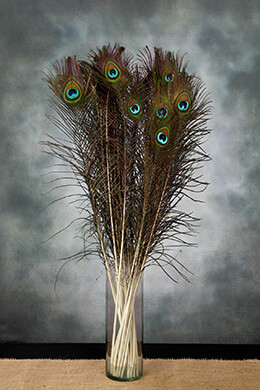 Peacock Feathers 30-35in (Pack of 24)