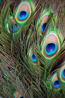 "Peacock Feathers (24 feathers) 33"" tall"