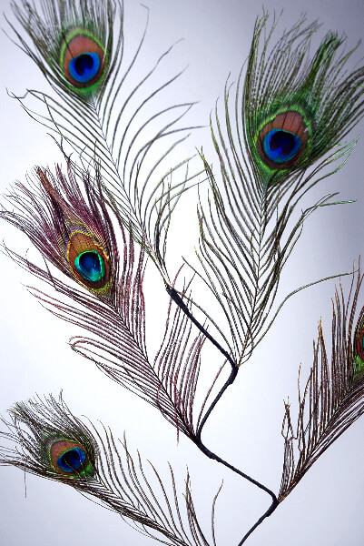 Peacock Feather Eyes (5 Feathers)