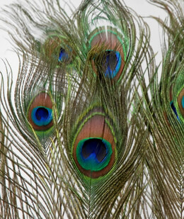 Peacock Feathers 33 in.