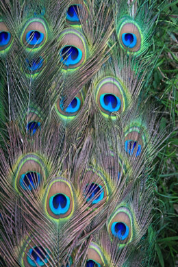 Peacock Feathers and Artificial Peacocks