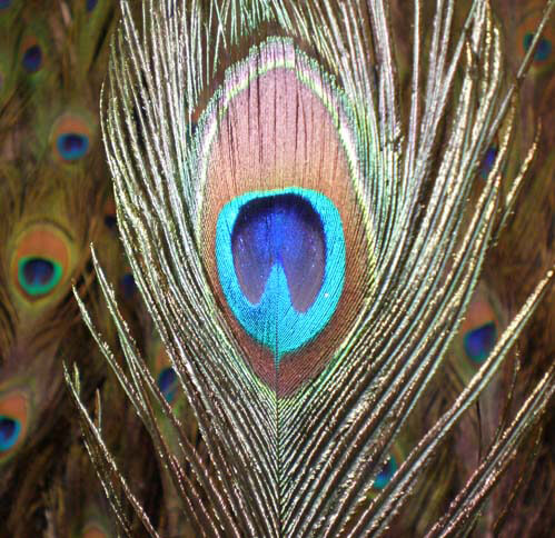 Peacock Feathers 30-35in (100 feathers)