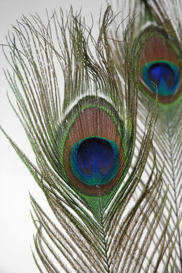 "Peacock Feathers Eye Feathers 30-35"" tall (6 feathers/ pkg)"