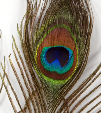 "Peacock Feathers Eyes 6-8"" (2 feathers)"