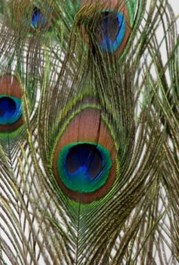 "Two 8"" Tall Peacock Eye Feathers"