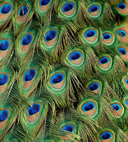 Peacock Feathers 8-12in (Pack of 100)