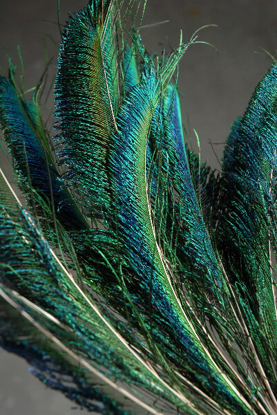 Peacock Sword Feathers 12-20in (Pack of 100)
