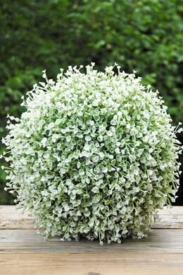 """Penstemon 11"""" Green & White Flower Ball"""