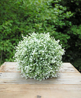 Penstemon Ball Green and White 8in