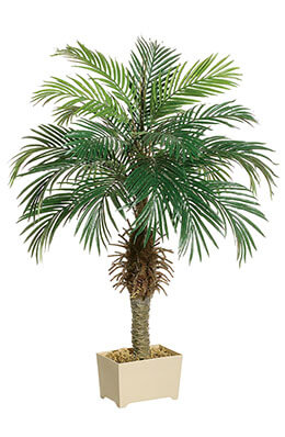 Phoenix Palm Tree 4ft