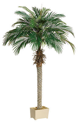 Phoenix Palm Tree 6ft