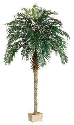 Phoenix Palm Tree 7ft