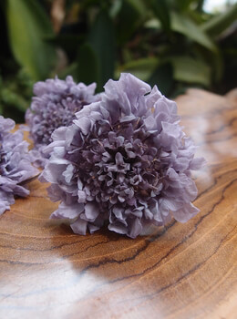 Pincushion Scabiosa Flowers Soft Lavender Preserved (5 flowers)