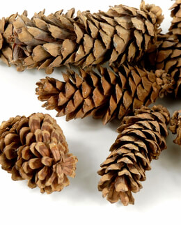 Pine Cones Eastern White 3 quarts