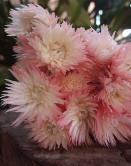 Pink & Silver Daisies Preserved
