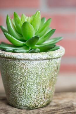 Succulent Potted Plant Echeveria 4x3