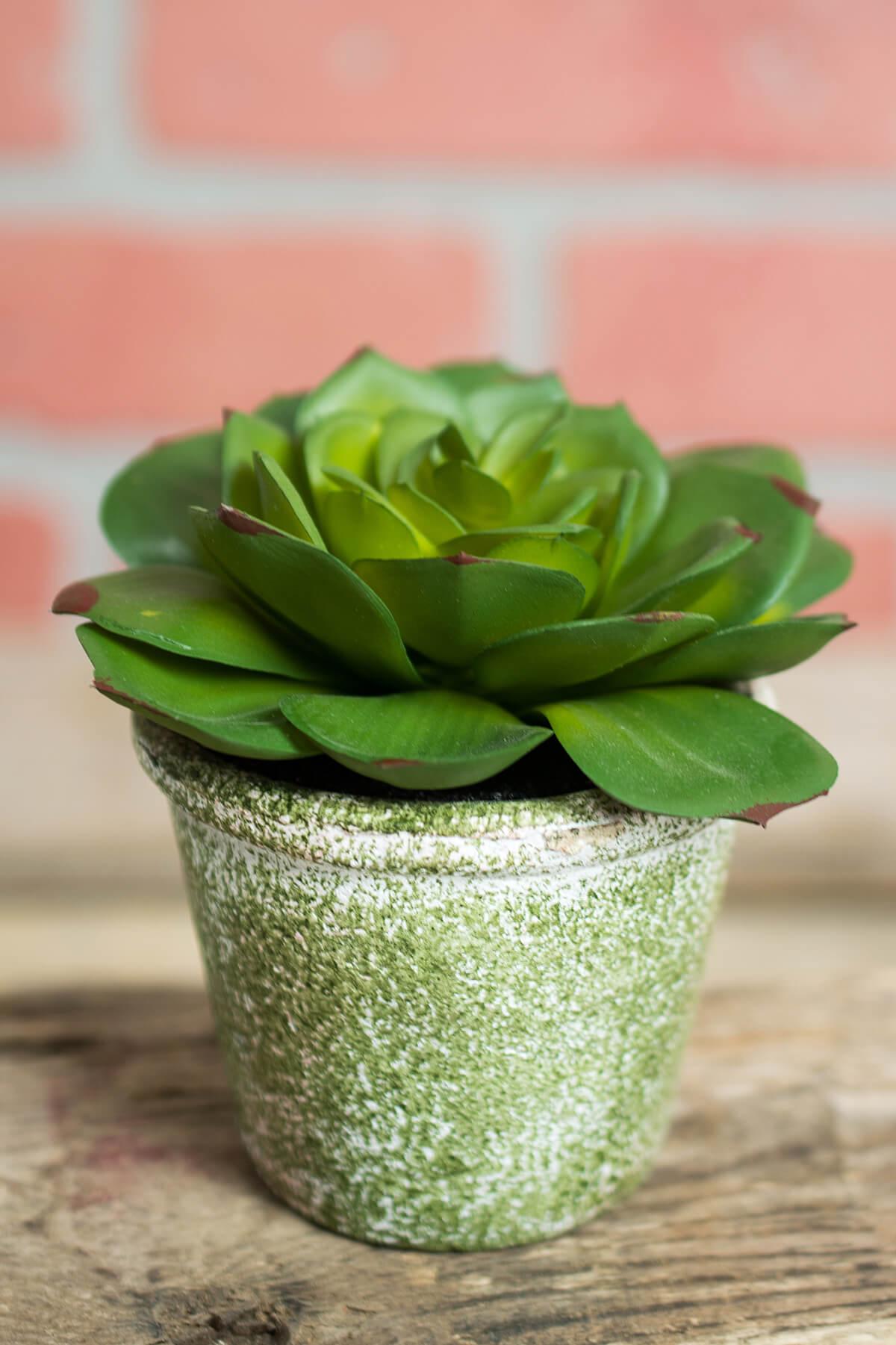 Succulent Potted Plant Echeveria 3.75 x 4