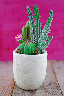 Potted Cacti 8.25in