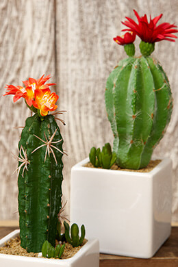 Potted Cactus Pair Red 8in (Set of 6)