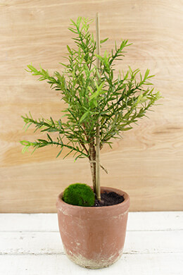 Potted Myrtle Topiary 16in