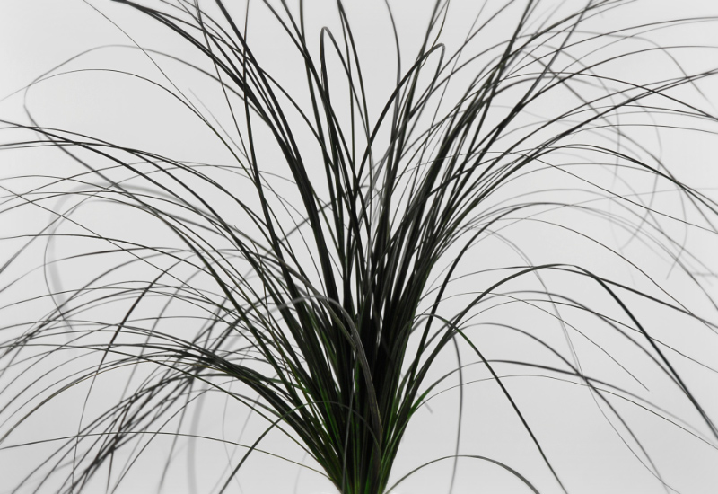 Preserved Jet Black Bear Grass 31""