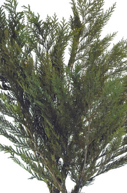 """Preserved Cedar Branches (26"""" tall) Fragrant Natural 3-6 branches"""