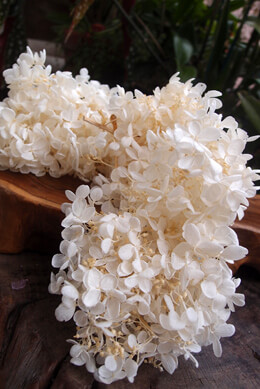 Ivory Preserved Hydrangeas  2 flowers