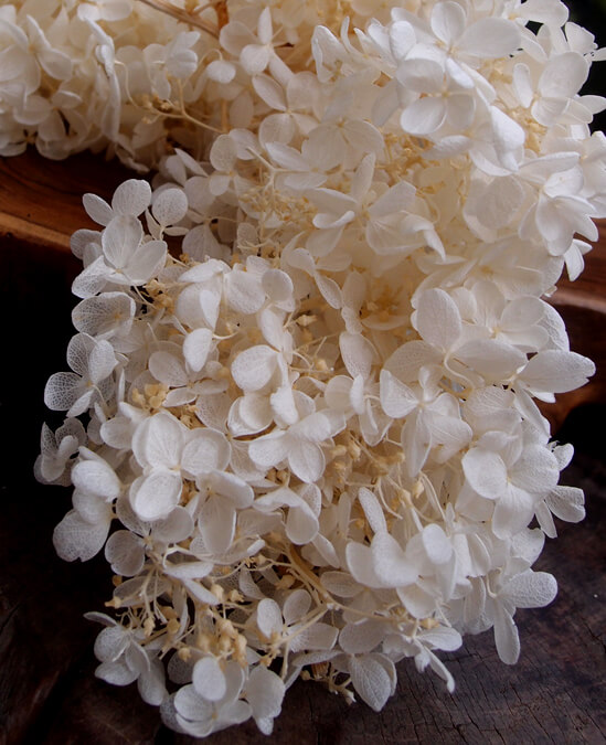 Ivory Preserved Hydrangeas  2 blooms