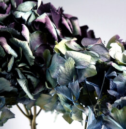 Preserved Hydrangea Flowers Highest Quality Macro Blue & Purple (30 flowers)