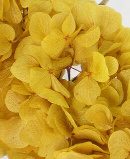 Preserved Hydrangeas Yellow | 3 Flowers