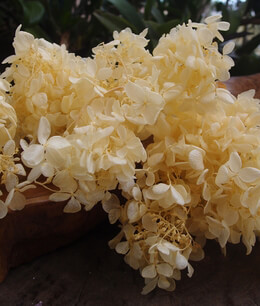 "Preserved Natural 4.5"" Soft Yellow Japanese Hydrangea Flowers (2 flowers)"